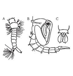 Mosquito metamorphosis vintage vector