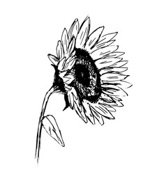 hand sketch sunflower sketch vector image