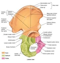 Pelvis coxal lateral vector
