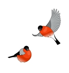 Bullfinch Birds isolated on a white background vector image vector image
