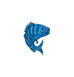 Sheepshead Fish Drawing vector image
