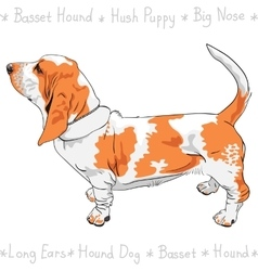 dog Basset Hound breed vector image vector image