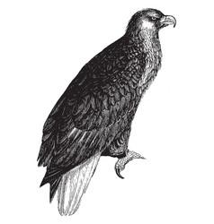 American sea eagle vintage vector