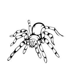 sketch design tarantula on white background vector image