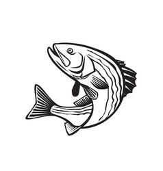 Striped bass morone saxatilis atlantic striped vector