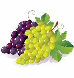 Grapes vector