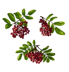Ashberry Branch Composition with Berries and vector image vector image