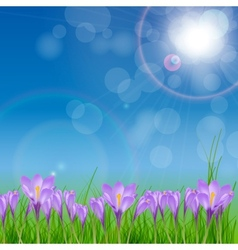 Crocuses nature background vector image