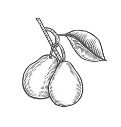 hand drawn pear branch vector image