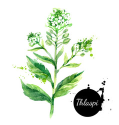 hand drawn watercolor thlaspi flower painted vector image