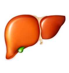 Human liver vector image vector image