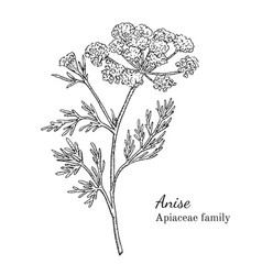 ink anise hand drawn sketch vector image vector image