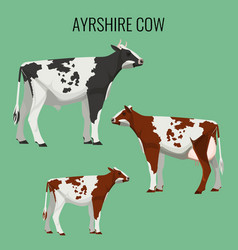 ayrshire cows isolated on white vector image