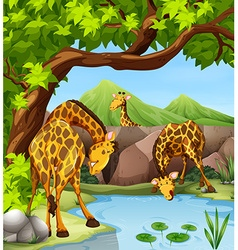 Giraffe drinking water from the pond vector