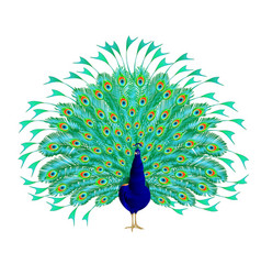 peacock beauty tropical bird vector image