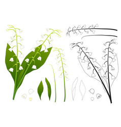 white lily of the valley outline vector image