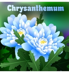 Beautiful spring flowers chrysanthemum Cards or vector image