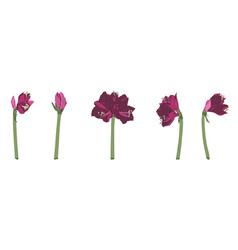 decorative clivia amaryllis liles violet branch vector image