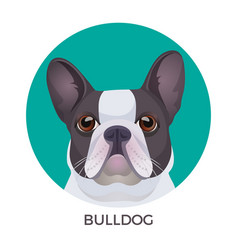 bulldog face colored in grey and white vector image