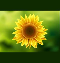 realistic sunflower beautiful bright yellow vector image