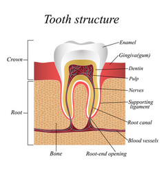 Tooth structure training medical anatomical vector
