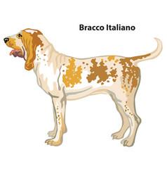 colored decorative portrait dog bracco vector image