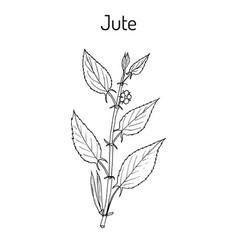 fiber crop jute corchorus olitorius or nalta vector image