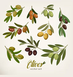 olive branches with foliage and berries vector image