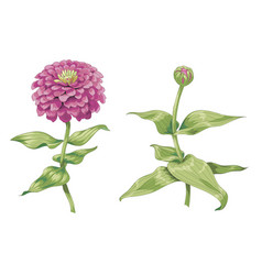 beautiful pink zinnia flowers isolated on white vector image
