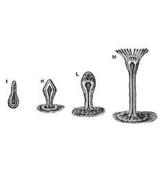 eudendrium vintage vector image