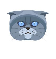 Highland scottish fold britain breed grey cat vector
