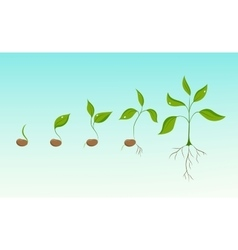 Plant growth evolution from bean seed to sapling vector
