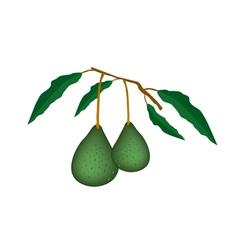 Two Fresh Green Avocados on A Branch vector