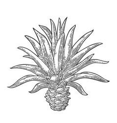 cactus blue agave vintage engraving vector image