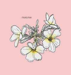frangipani hand drawing vintage style vector image