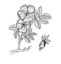 doodle dog rose of medicinal plant black outline vector image