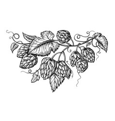 hand drawing of a branch of hops vector image