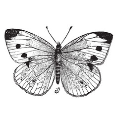 small white butterfly vintage vector image