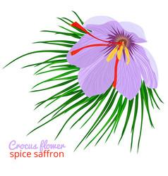 vintage card with crocus flower violet set on vector image vector image