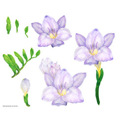 Freesia lilac flowers and buds watercolor vector