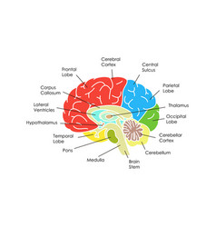 Human brain anatomy card poster vector