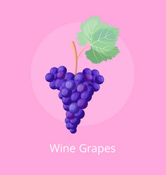 wine grapes icon on pink vector image