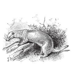 Ferret in the wild vintage vector