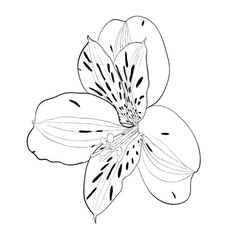 beautiful monochrome black and white Alstroemeria vector image
