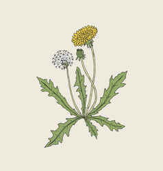 Elegant detailed drawing of dandelion plant with vector