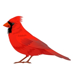 Northern Cardinal bird vector image