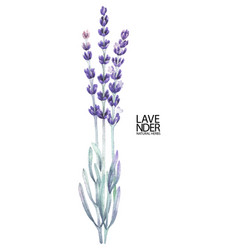 watercolor lavender bouquet vector image
