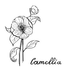 Camellia flower botany vector