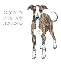 italian greyhound dog breed vector image