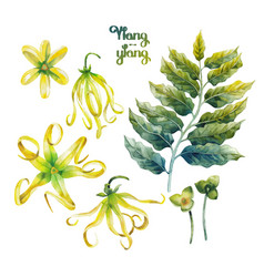 Watercolor ylang ylang set vector